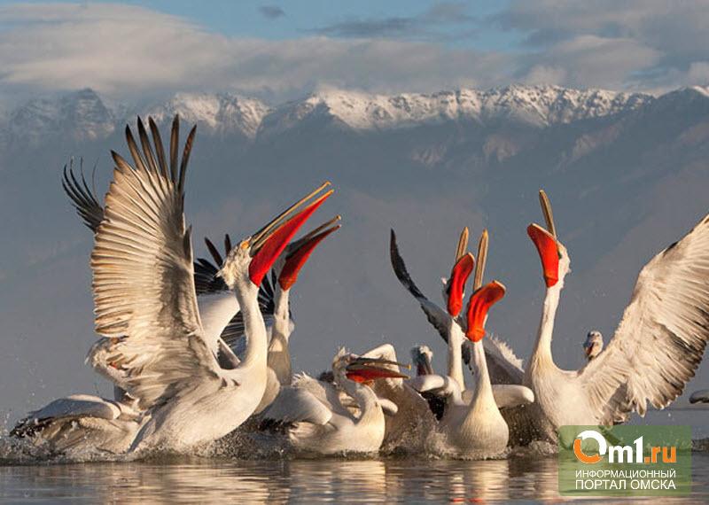 За омскими кудрявыми пеликанами будут следить из космоса