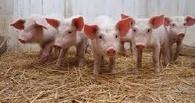 В Омской области животноводов пытаются уберечь от убытков