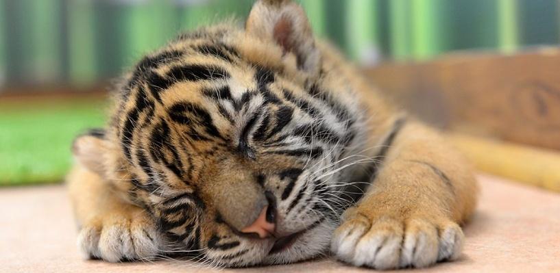 В мире впервые за сто лет зафиксировали рост численности тигров