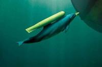 Крымские боевые дельфины будут служить России