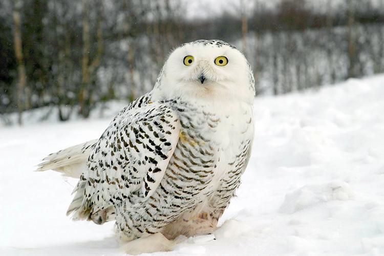 В Омске встретили полярную сову
