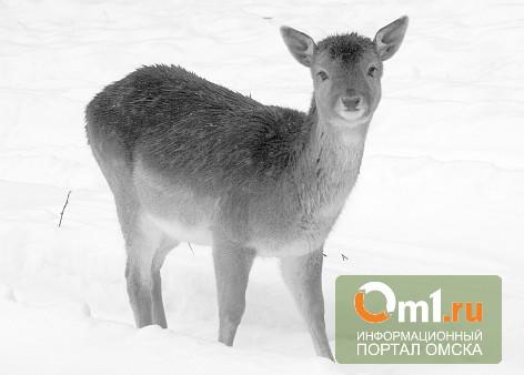 В Омской области обнаружили молдованина, перевозившего убитую косулю