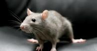 В омском магазине нашли мышь, поедающую конфеты