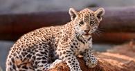 В Омске за 1 млн рублей продают детеныша леопарда