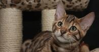 Омич менял бенгальского котенка на iPhone или ноутбук