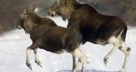 В Омской области убили еще двух лосей