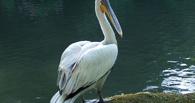 В Омской области спасли кудрявого пеликана