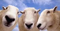 В Омск из Казахстана нелегально пытались ввезти отару овец