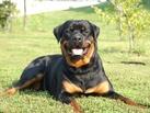 Ответственность хозяев бойцовых псов застрахуют: в России хотят ввести «собачье ОСАГО»