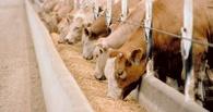 Китайцам предлагают выпускать в Омске миндальную муку и говядину