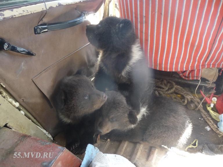Трех медвежат, оставшихся после убийства медведицы, могут определить в Большереченский зоопарк