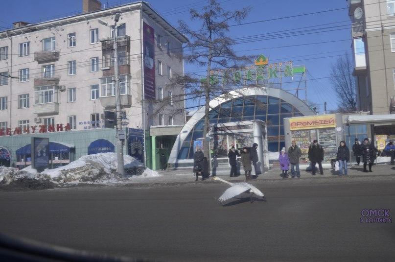 В Омске у Жемчужины по проезжей части бегал лебедь. ФОТО
