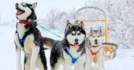 Омичи в Новогодние праздники смогут покататься на собачьих упряжках