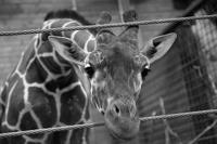 Директор зоопарка в Дании лишится работы из-за убийства жирафа