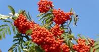 В Омске на аллее Почета высадили сосну, рябину и кедр