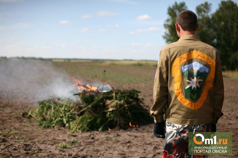 В Омской области обнаружили 76 гектар конопли