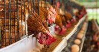 В Омске рабочий птицефабрики захлебнулся в колодце с куриным пометом