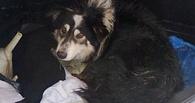 Омские полицейские ищут людей, стрелявших в собаку на стройке