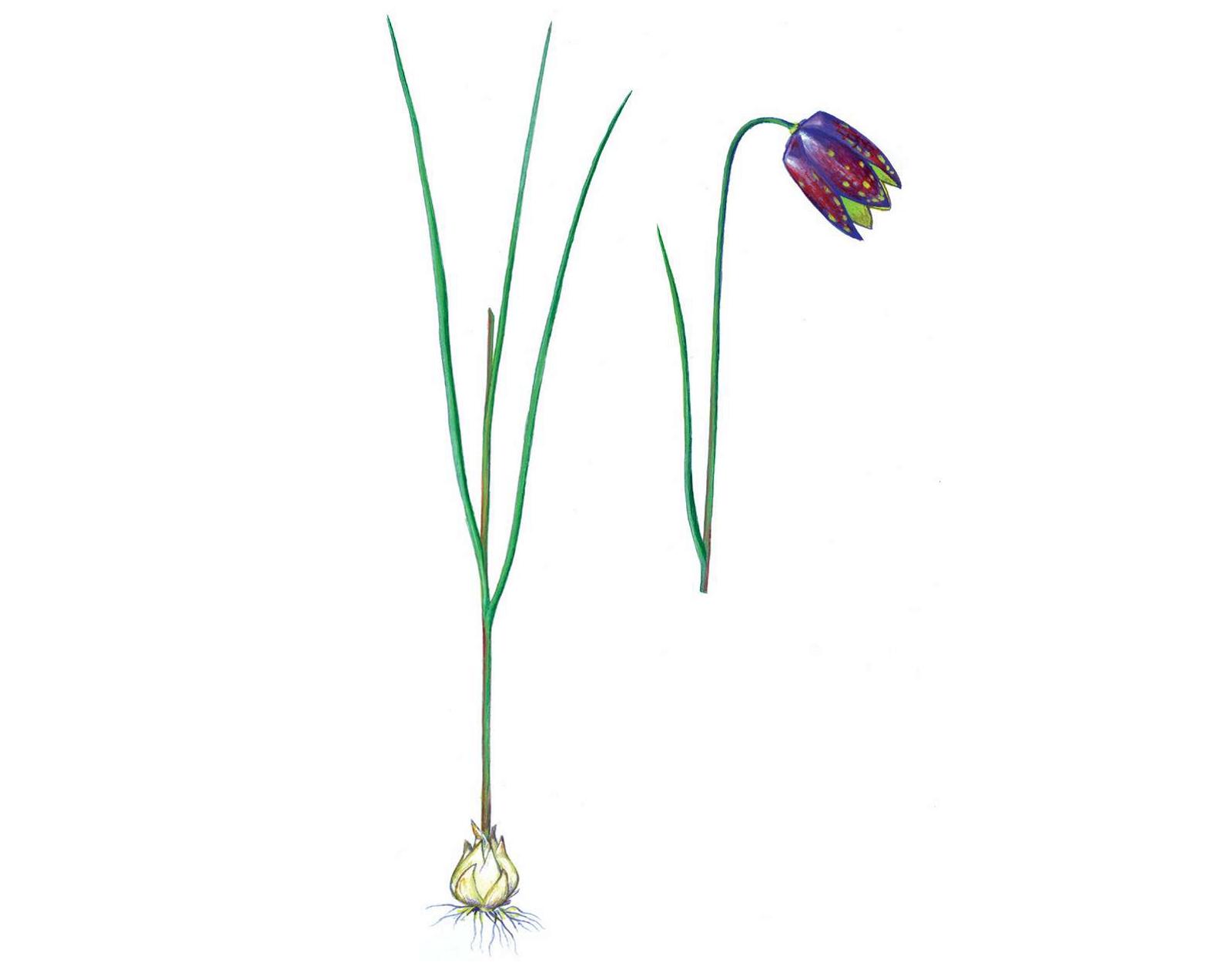 Граждан Омской области просят оберегать редкие первоцветы