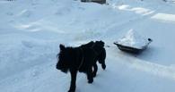 Пес из Омской области приступил к уборке снега