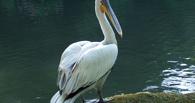 В Омской области браконьер ради забавы застрелил двух пеликанов