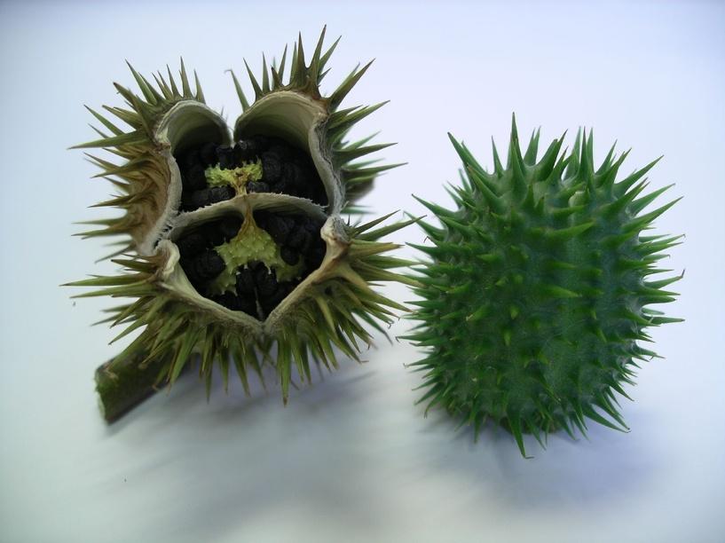 Четверо омских студентов отравились семенами дурмана