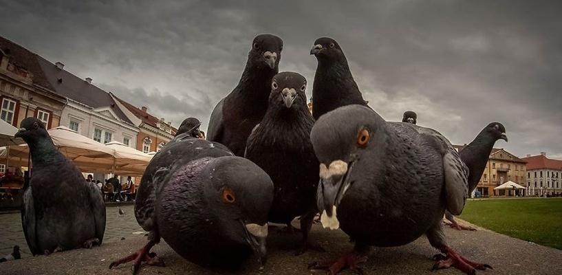 Рядом с Омской областью массово гибнут голуби