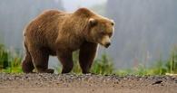 В Омской области по улицам села гуляет дикий медведь
