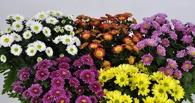 Перед 8 марта в Омск пытались привезти хризантемы, зараженные вредителями