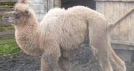 В Омской области в Большереченском зоопарке родился верблюжонок с очень маленькими горбами