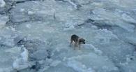 В Омске сотрудники МЧС спасли плывущую на льдине дворняжку
