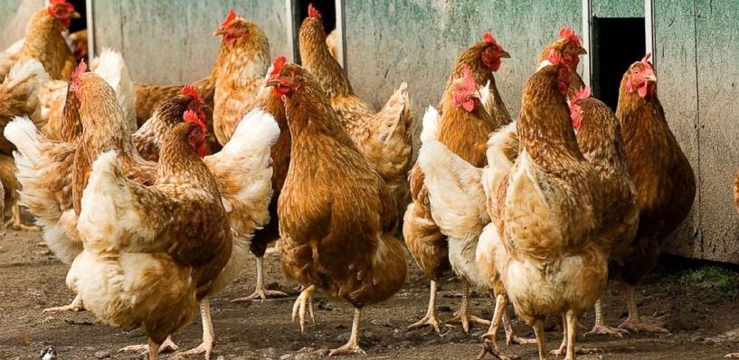 Банда омичей украла с птицефабрики 5000 кур