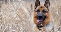 В Омске собака нашла пропавшего грибника