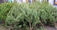 «Черные лесорубы» начали рубить сосны к Новому году