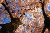 В Японии сакура зацвела на 10 дней раньше обычного