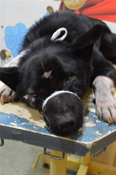 Бездомный пес после обстрела САХа сутки бегал с ядовитым дротиком в голове