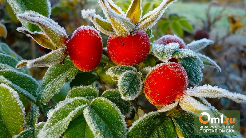 В Омске снова прогнозируют ночные заморозки
