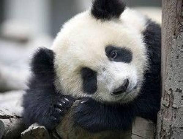 В Тайваньском зоопарке панда симулировала беременность ради булочек