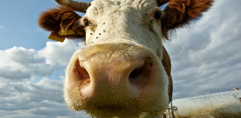 В Омской области водитель «ВАЗа» наехал на корову