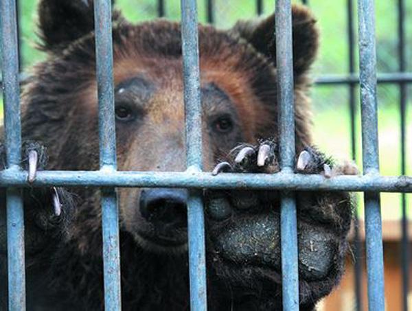 Живущий при шашлычной медведь откусил руку пьяной девушке
