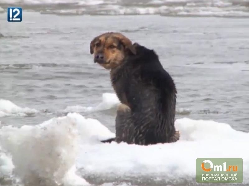Приют «Друг» ищет омича, который спасал собаку на льдине