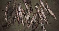 В Омской области рыбаки незаконно выловили 36 стерлядей (фото)