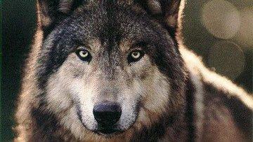 В Омской области стало в 3 раза больше волков