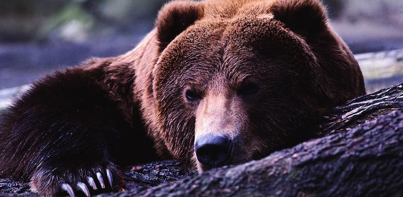 Пьяная женщина сунула руку в клетку с медведем и лишилась ее
