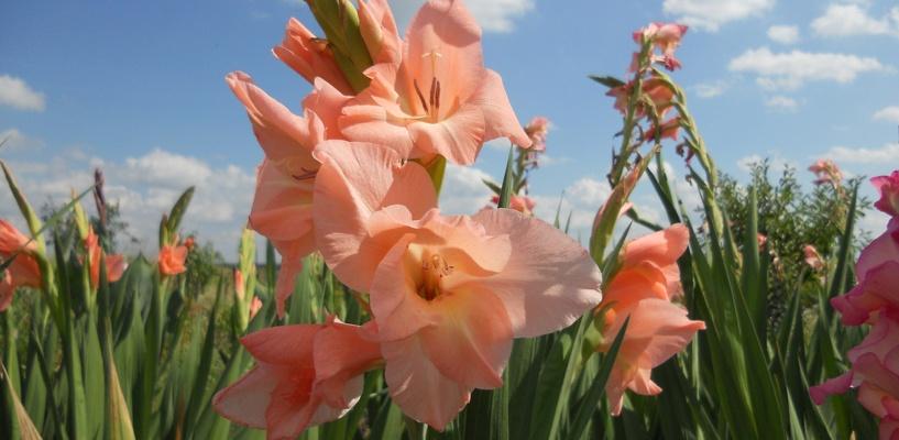 К 300-летию Омска высадят 3 миллиона цветов