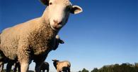 В Омской области у должника забрали стадо коней и отару овец