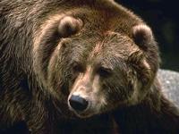 Вымышленные челябинцы избили вымышленного медведя в Польше