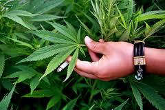 Полицейские случайно задержали омича со свежим «урожаем» конопли