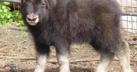 Омичей просят придумать имя для детеныша овцебыка