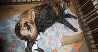 В омском приюте «Друг» пытаются спасти собаку, пострадавшую от неизвестной жидкости